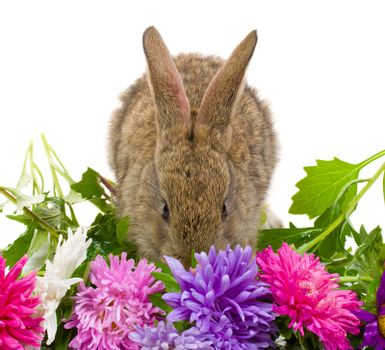 close-up small bunny and aster flowers, isolated on white