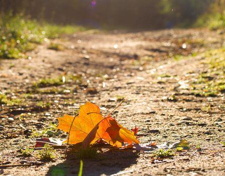 close-up fallen maple leafs at dawn