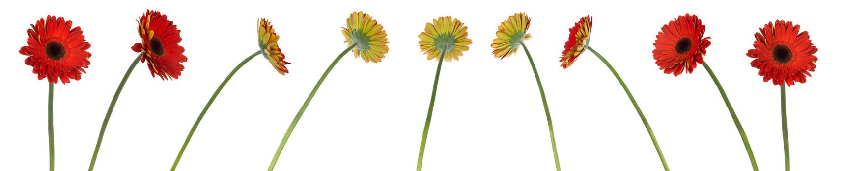 nine red gerbera flowers in different positions, isolated on white
