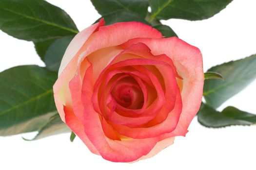 close-up pink and white rose, view from above, isolated