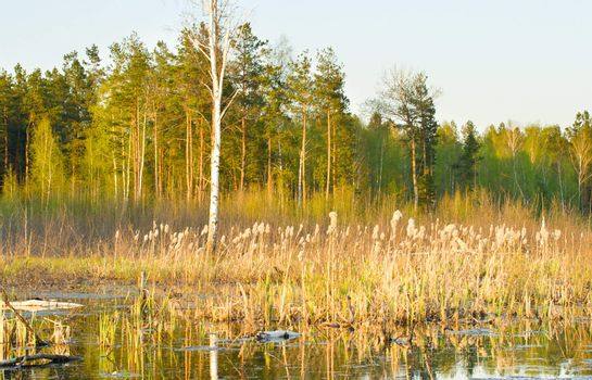 rushy swamp in forest, spring time