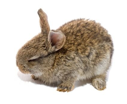 small bunny with closed eyes, isolated on white