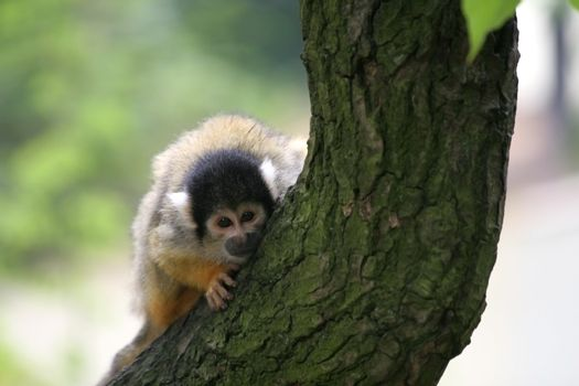 Curious squirrelmonkey