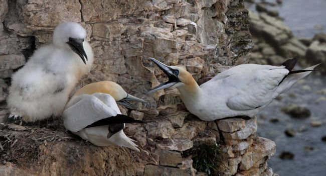 Gannets on the Cliff Face