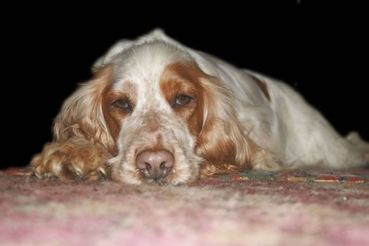 tan and white cocker spaniel laying on the floor looking directly at the camera