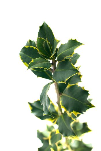 Holly branch with leaves