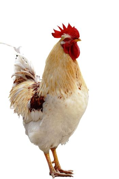 Animal, domesticated fowl, chicken, male chicken,