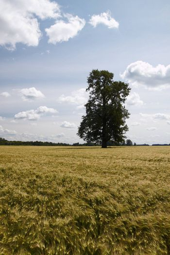 Landscape with lonely tree at summer barley field