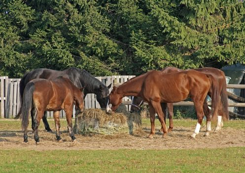this image shows four horses at feed