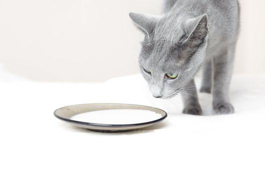 Pussy cat indoors near the plate with milk