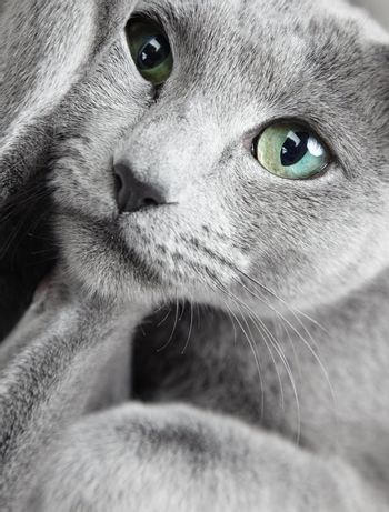 Portrait of funny Russian blue cat with green eyes