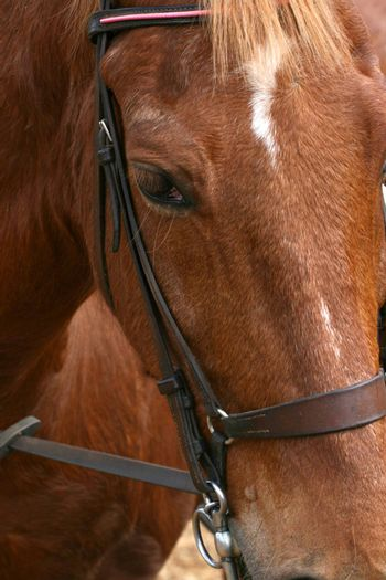 Close up of a brown farm horse with