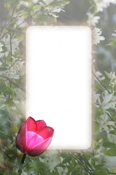 Bright pink tulip border against white blossoms