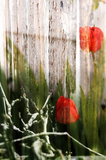 Abstract spring background with red tulips