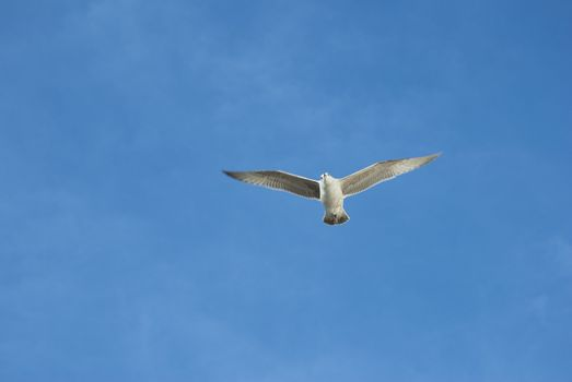 Seagull Above