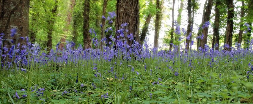 a wood full of bluebells in ireland