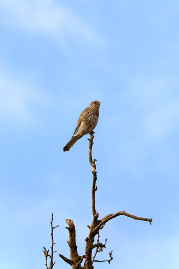 This image shows a portrait from a kestrel