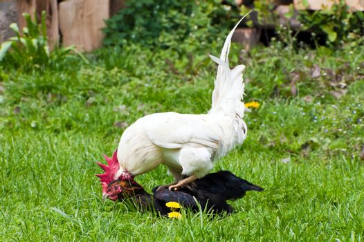 This image shows a cock and chicken in action