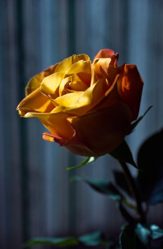 closeup lit flower rose
