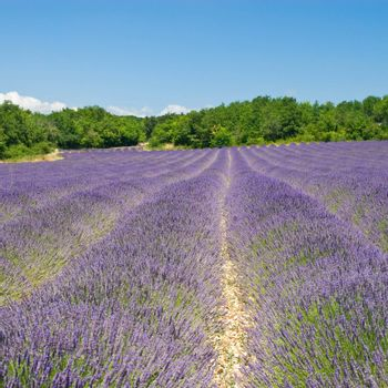 Lavender field on a beautiful day. Provence, France.