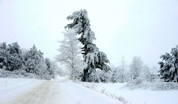 Covered trees after a heavy snow fall
