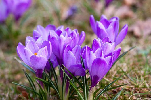 Bunch of violet crocuses