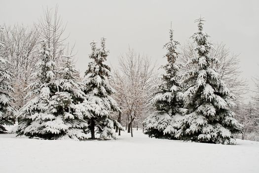 december fir forest covered with snow