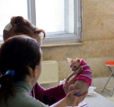 Don Sphinx (DONSPHINX) kitten