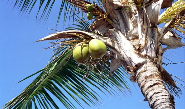 coconut palm tree with fruits