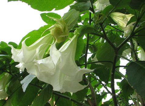 white Brugmansia or Angel´s Trumpet