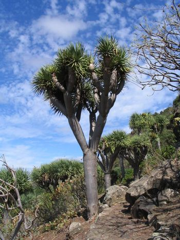 dragon blood tree on the canary islands