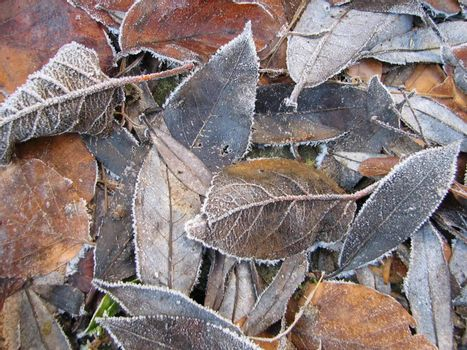 leaves with hoar-frost