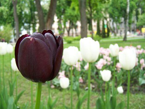 Loneliness of purple tulip