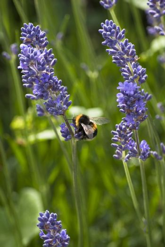 Bee Gathering Lavender Pollen