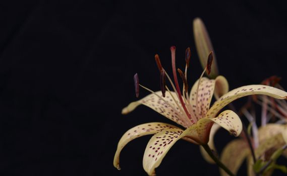 Macro shot blooming lily flower. Black background