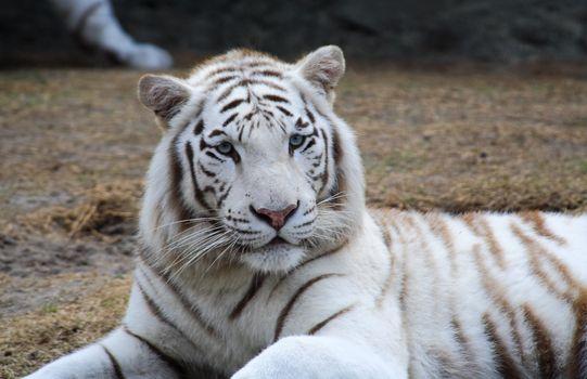 White tiger closeup in a florida zoo