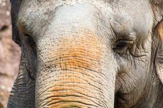 Closeup of an elephant in a zoo