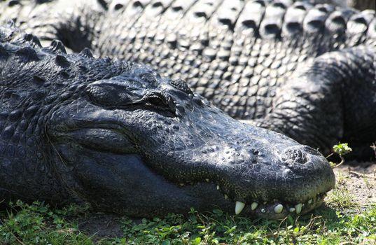 alligator in a park in Florida State