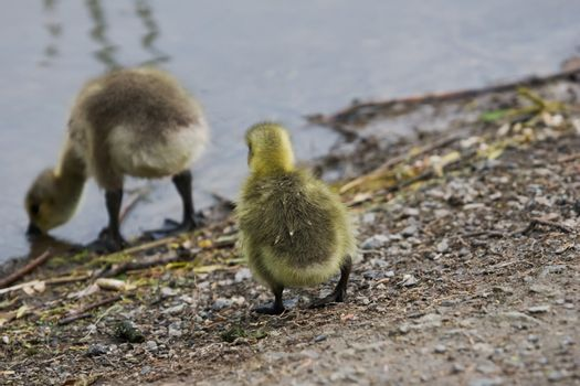 Two goslings at shores edge, one drinking.