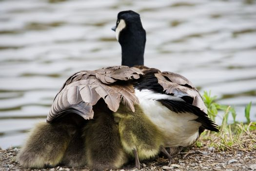 A Canada Goose with goslings taking shelter under its wing.