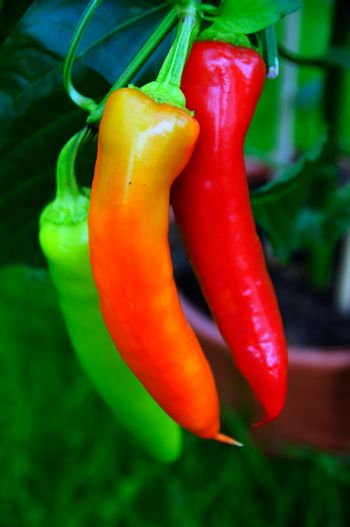 Cultivate chili peppers
