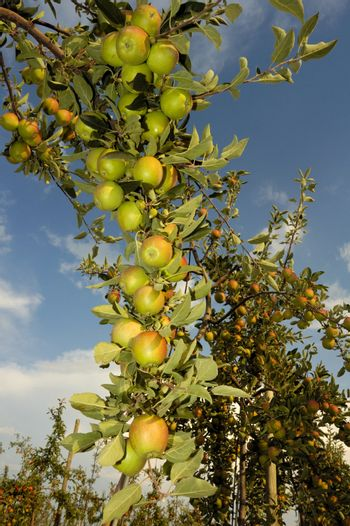 Apples on the bough