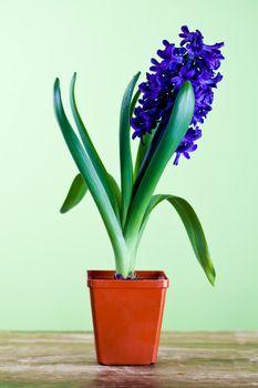 decorative hyacinth