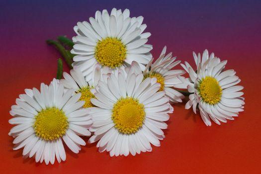 frische gaenseblumen auf farbigen hintergrund rot blau