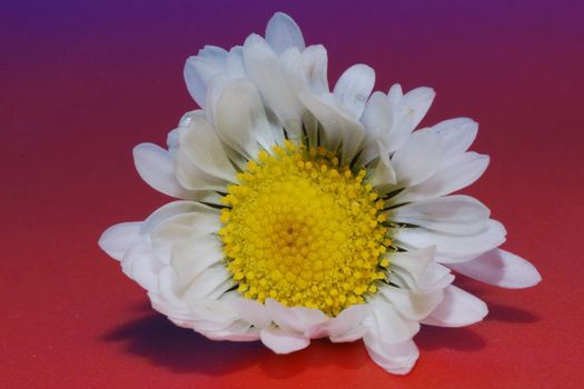 great view of a daisy blue with red background