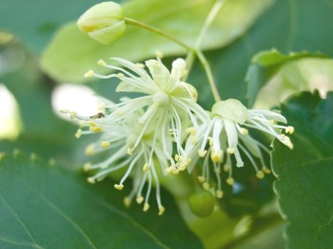 Flowers of a linden