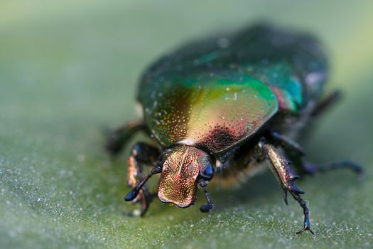 Vivid macro shot of a Lithuanian beetle on a leaf that it has been eating.