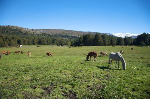 horses grazing in avila
