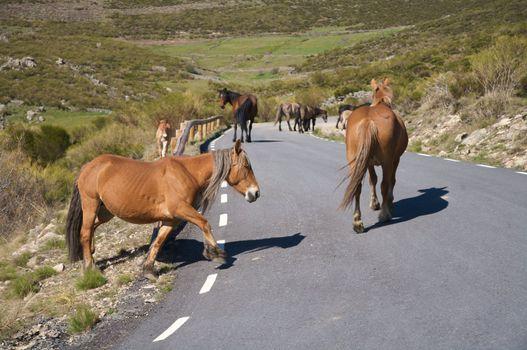 herd of horses on road