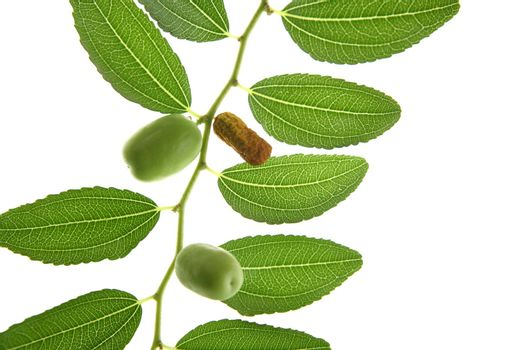 leaves transparency  with green fruits